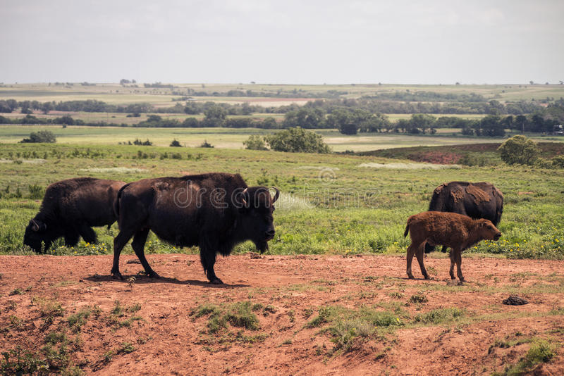 American Bison. Adults and baby american bison on a Oklahoma prairie royalty free stock images