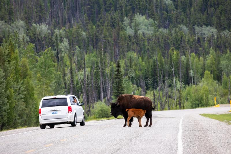 American bison along the alaska highway in Canada stock photo