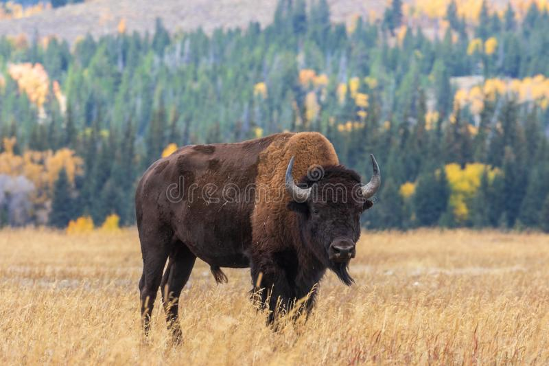 American Bison in Autumn. An american bison bull in autumn in Wyoming stock image