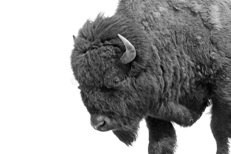 American Bison (Bison bison). Aka American Buffalo isolated in black and white stock images