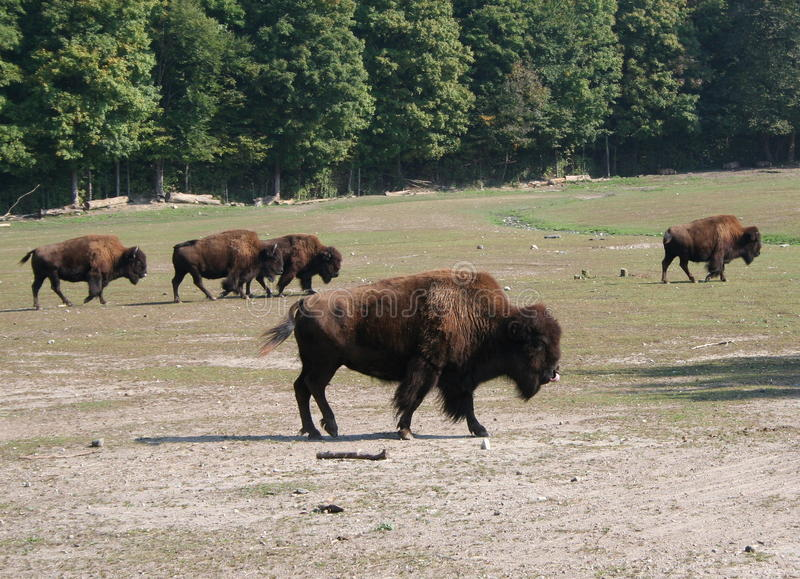 Download American Bison (Bison Bison) Stock Photo - Image: 12917854