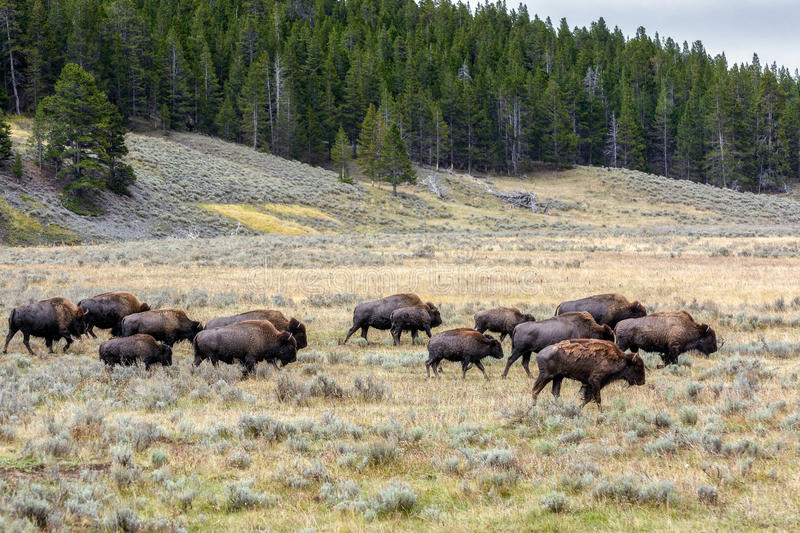 American Bison Bison bison. Roaming in Yeloowstone royalty free stock photos
