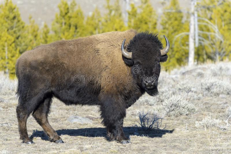 American Bison in wintertime. American Bison Bison bison, 9Yellowstone National Park, Wyoming-Montana, USA stock photos