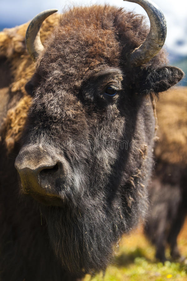 American Bison or Buffalo. American Bison (Bison Bison) or Buffalo stock photography