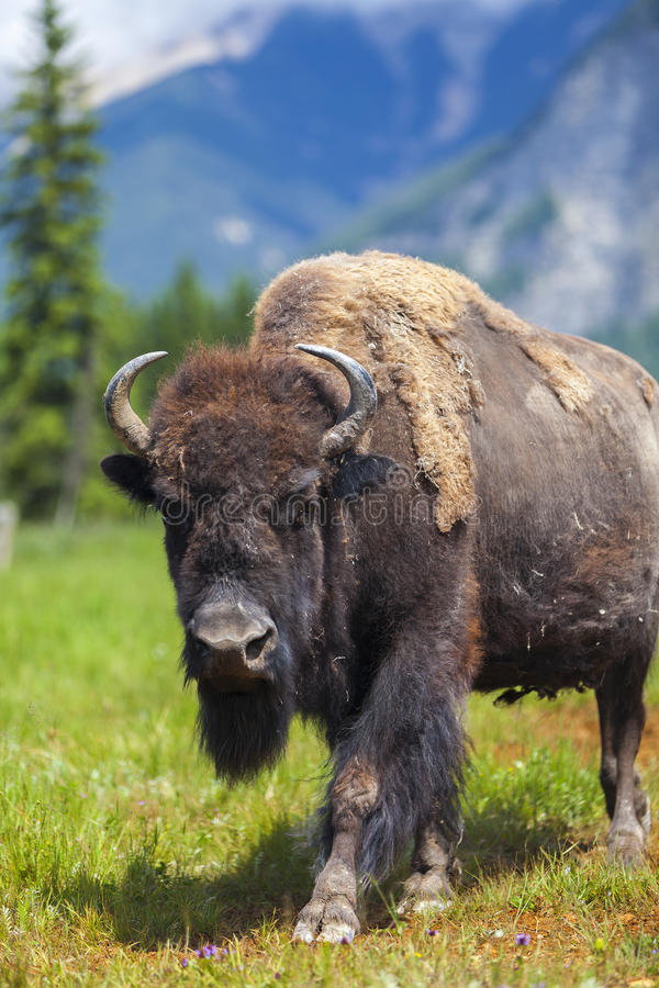 American Bison or Buffalo. American Bison (Bison Bison) or Buffalo royalty free stock photos