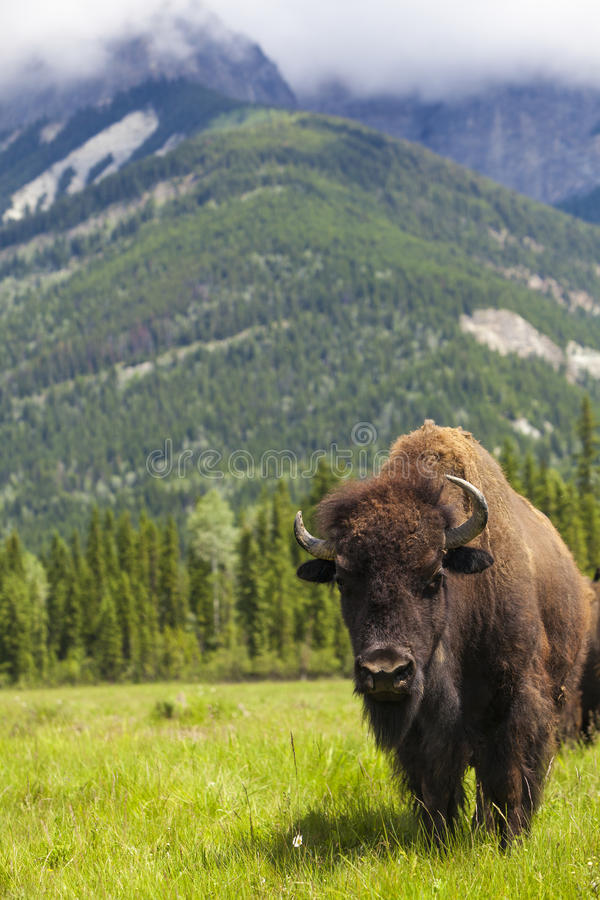 American Bison or Buffalo. American Bison (Bison Bison) or Buffalo royalty free stock photo
