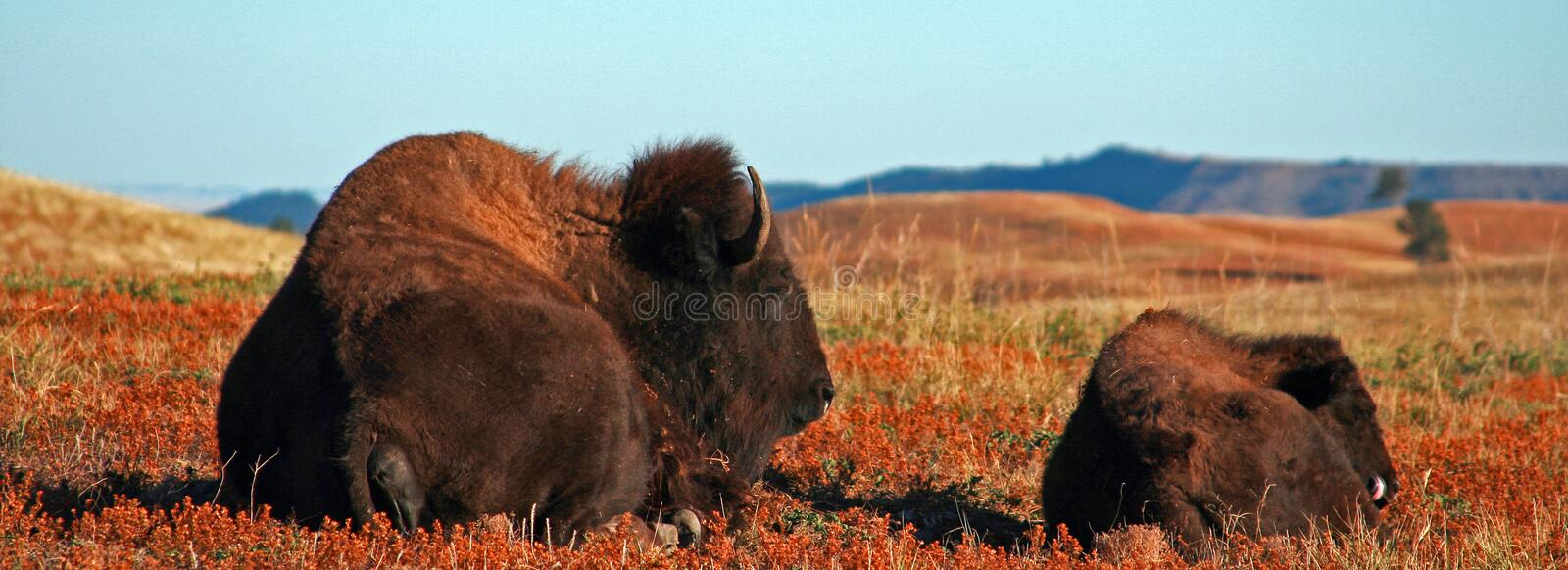 American Bison Buffalo Cow with calf in Wind Cave National Park. American Bison Buffalo Cow w calf in Wind Cave National Park in the Black Hills of South Dakota royalty free stock photos