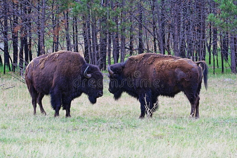 American Bison Buffalo facing off in Wind Cave National Park. In the Black Hills of South Dakota USA stock photos