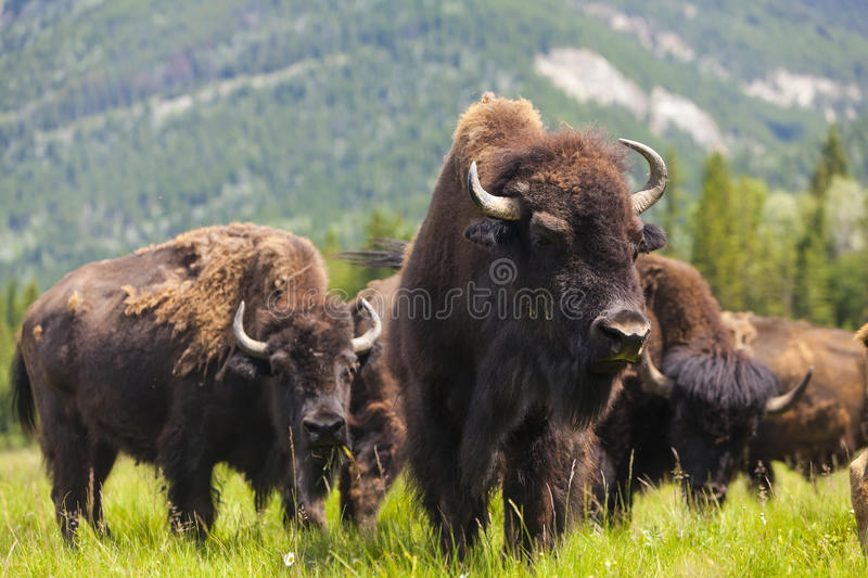 American Bison or Buffalo. Herd of American Bison (Bison Bison) or Buffalo stock photography