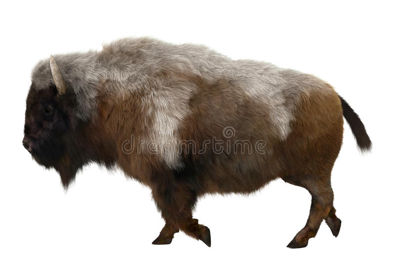 American Bison. 3D digital render of a walking American bison isolated on white background royalty free stock image