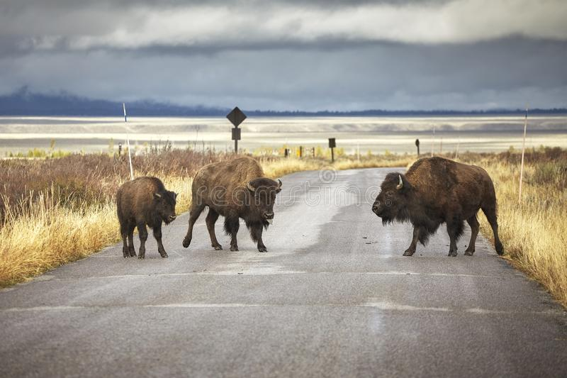American bison family cross a road, Wyoming, USA. American bison family cross a road in Grand Teton National Park, Wyoming, USA royalty free stock image