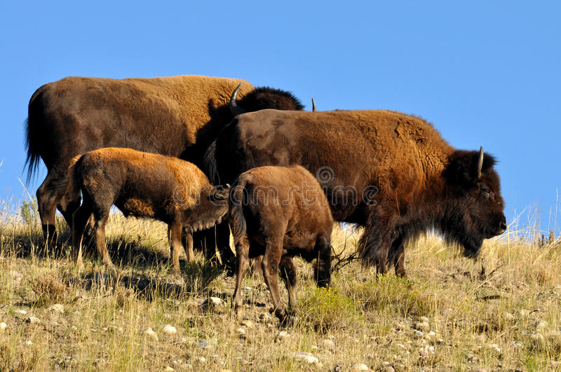 American Bison family together royalty free stock photo
