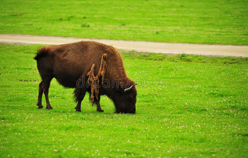 American Bison on a field. American bison eats grass on a field stock photos