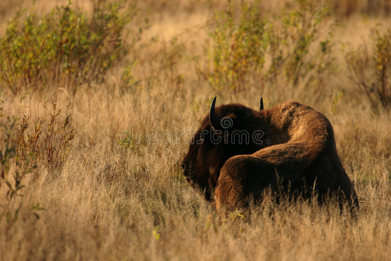 American Bison in field stock photo