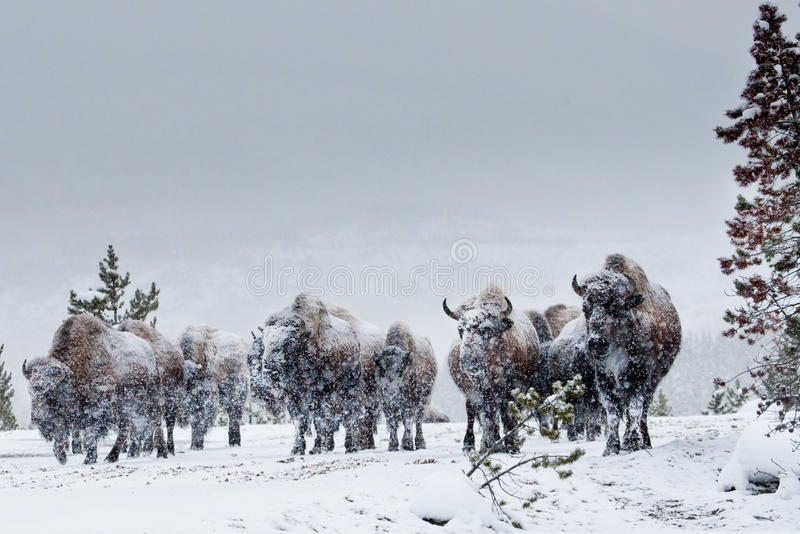 American Bison Herd. Small Herd of American Bison in Winter Snow Storm stock photos