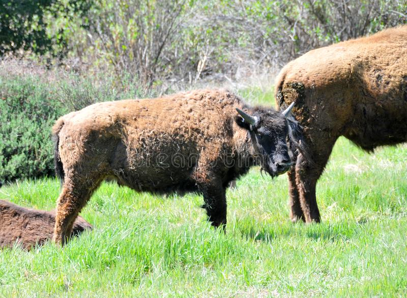 American Bison Herd in San Diego County California stock photography