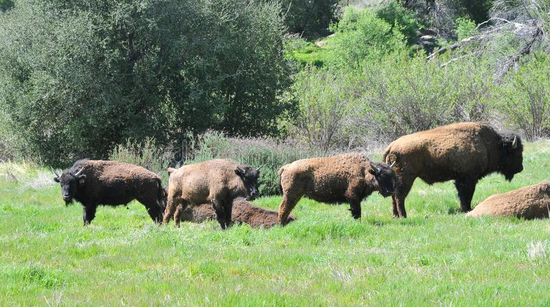 American Bison Herd in San Diego County California stock photo