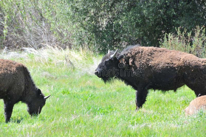 American Bison Herd in San Diego County California. The American bison or simply bison, also commonly known as the American buffalo or simply buffalo, is a stock images