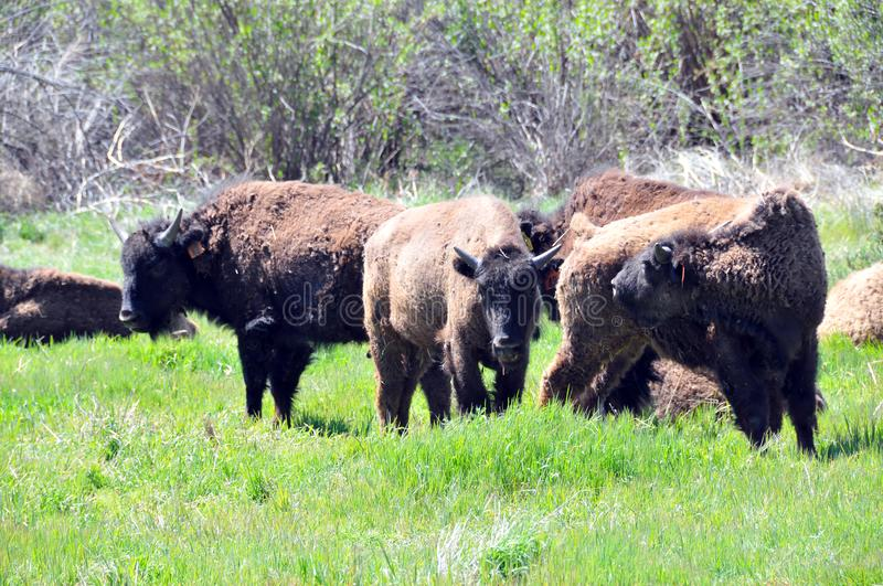 American Bison Herd in San Diego County California royalty free stock images