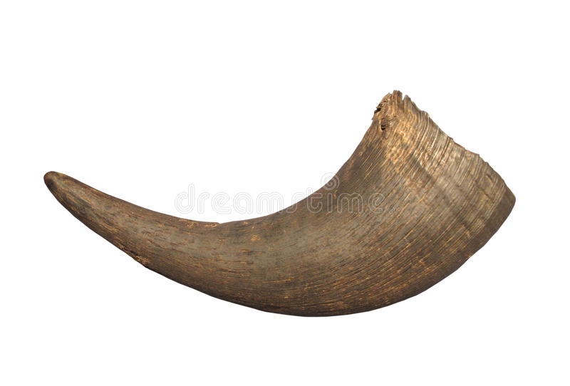 American bison horn isolated. Horn from a North American bison. Isolated on white royalty free stock photography