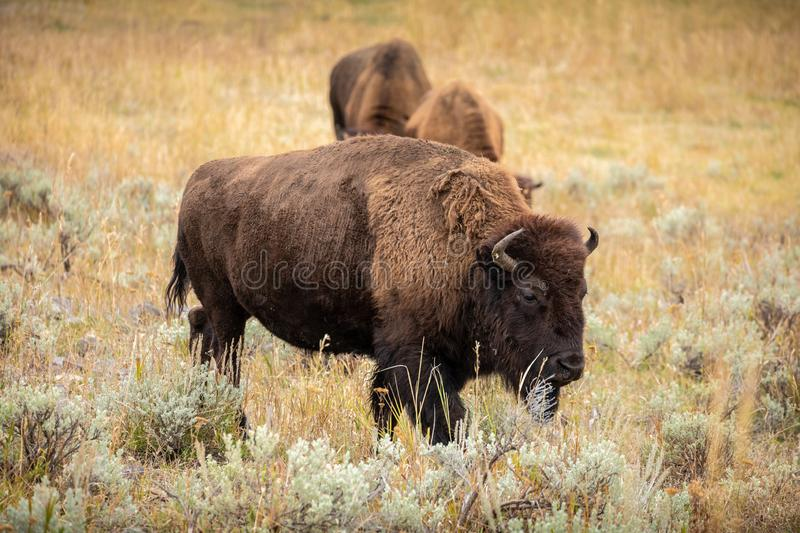 American bison walking and looking for food in Yellowstone National Park stock photography