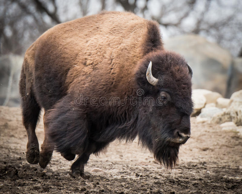 American Bison IV. American Bison on the Run royalty free stock image