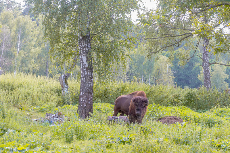 American bison. On natural background stock photo