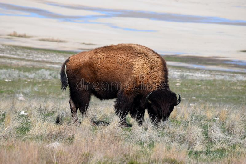 American Bison Photo. Photo of American bison Antelope Island stock photography
