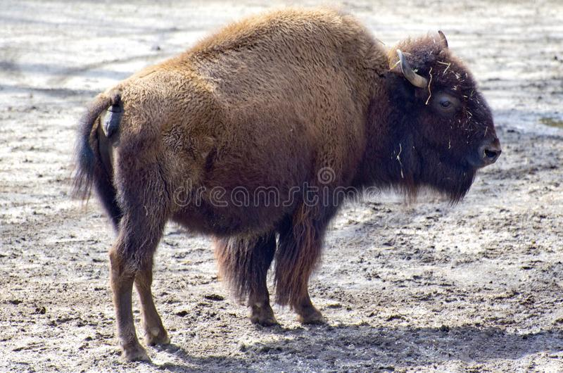 American Bison. The American bison, Bison bison, from the plains of the united states of america, with characteristic muscular hump and furry head with horns royalty free stock images
