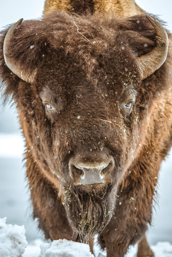 American Bison Portrait. American Buffalo Closeup. Colorado, United States stock photo