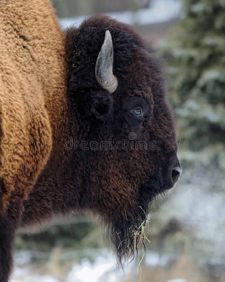 American bison profile. American bison (Bison bison) profile during the winter stock image