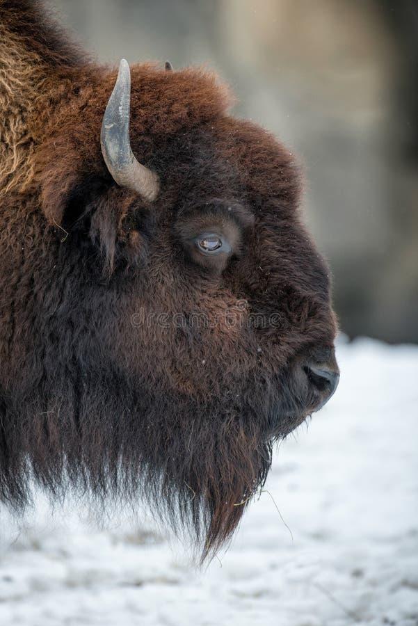 American bison profile stock photos