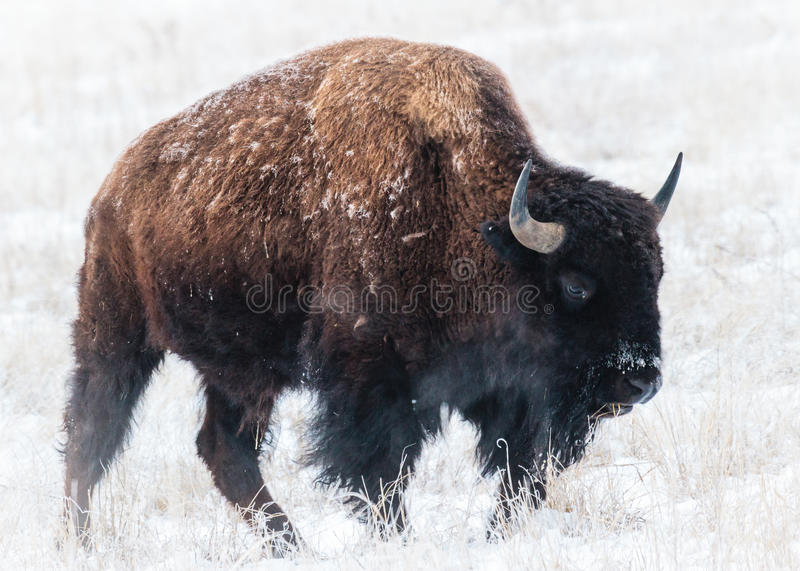American Bison. Roam the planes of Colorado stock image
