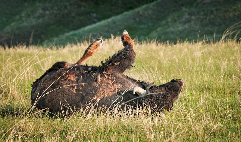 Download American Bison Rolls In Prairie Grasses Stock Image - Image: 27190619