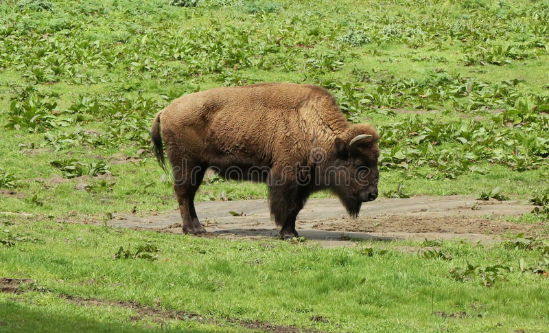 American bison. In San Francisco Golden Gate Park royalty free stock images
