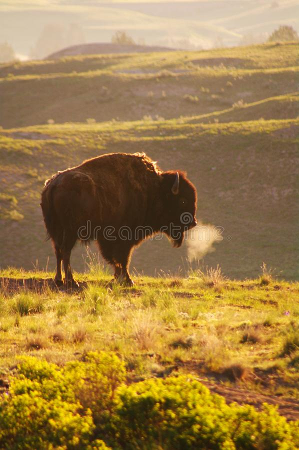 American Bison. The American bison or simply bison Bison bison, also commonly known as the American buffalo or simply buffalo, is a North American species of stock photos