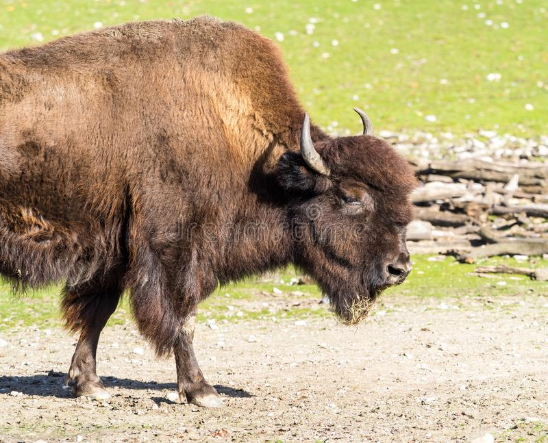 American buffalo known as bison, Bos bison in the zoo. The American bison or simply bison, also commonly known as the American buffalo or simply buffalo, is a royalty free stock image