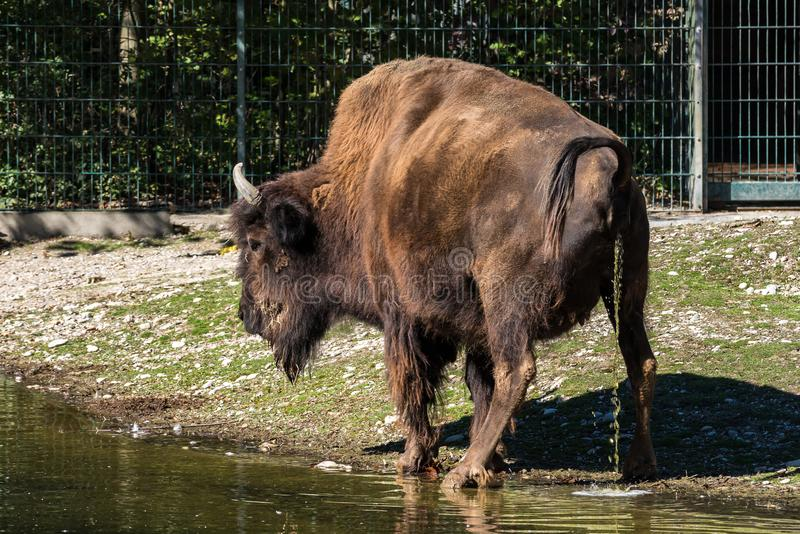American buffalo known as bison, Bos bison in the zoo. The American bison or simply bison, also commonly known as the American buffalo or simply buffalo, is a royalty free stock photography