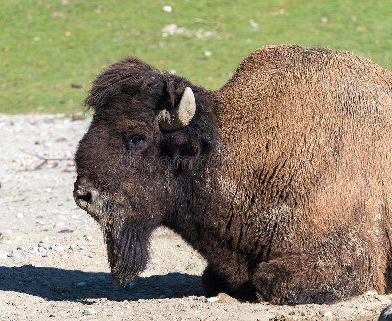 American buffalo known as bison, Bos bison in the zoo. The American bison or simply bison, also commonly known as the American buffalo or simply buffalo, is a stock photography
