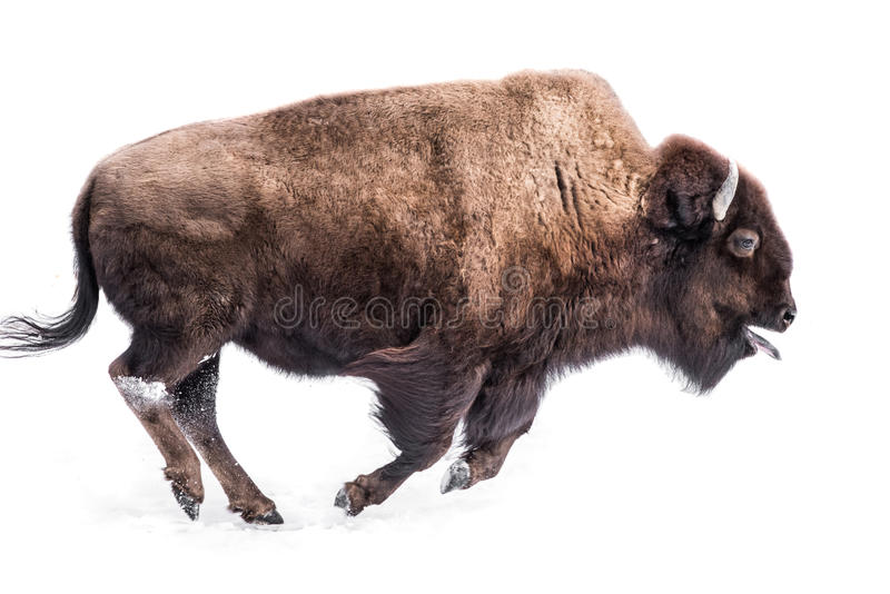 American Bison in Snow IV. An American Bison Running in Snow with Its Tongue Out royalty free stock images