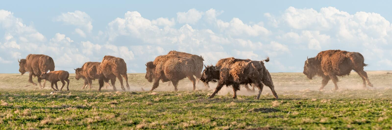 Download American Bison Stampede stock photo. Image of herbivore - 27190600