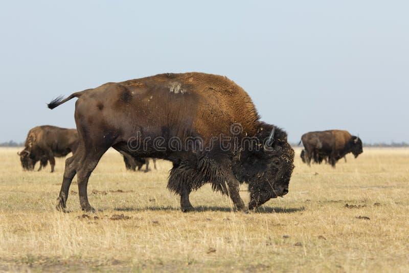 American Bison Walks In A Herd royalty free stock image