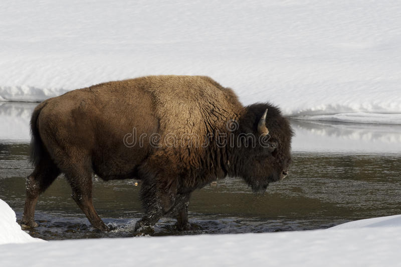 American Bison in winter. American Bison Bison bison in the snow, crossing river, Lamar Valley, Yellowstone National Park, Montana, USA stock images