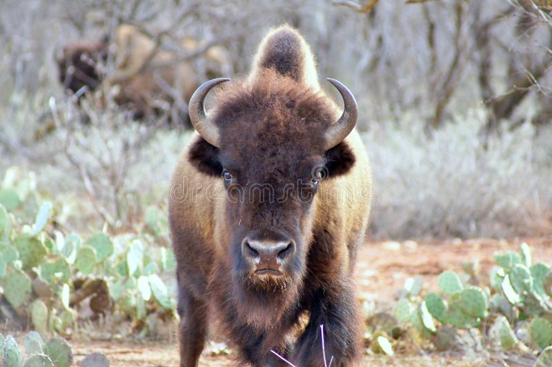 American bison. Young American bison (Bison bison), looking at camera ,standing amidst mesquites and prickly pear cacti royalty free stock photo