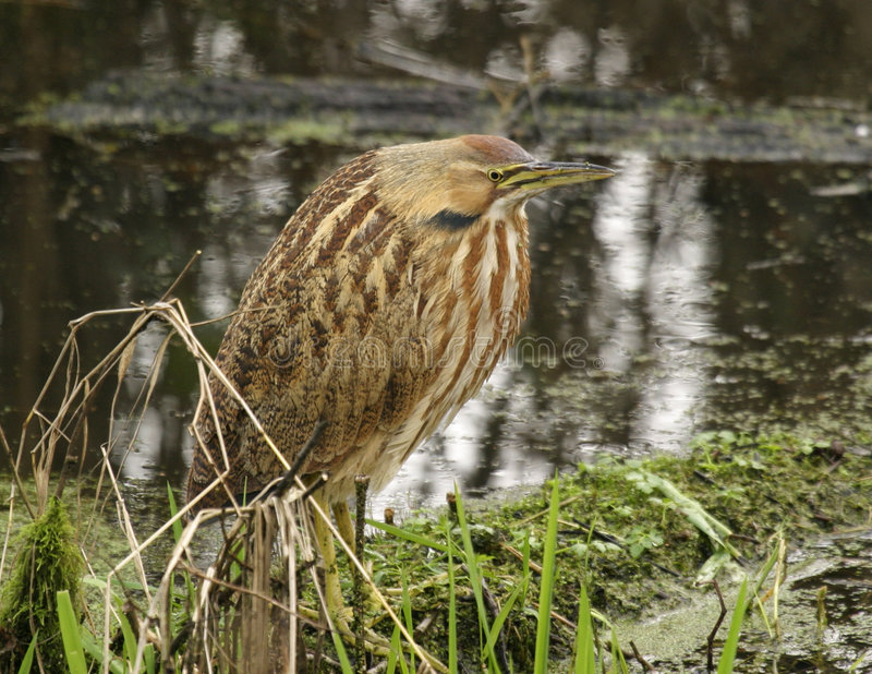 Download American Bittern stock photo. Image of american, wild, feathered - 464634