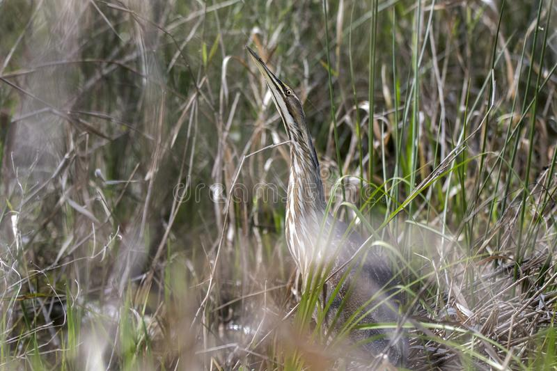 American Bittern hiding in grasses in Okefenokee Swamp Georgia. American Bittern camouflage in marsh grasses in the Okefenokee Swamp National Wildlife Refuge in stock images