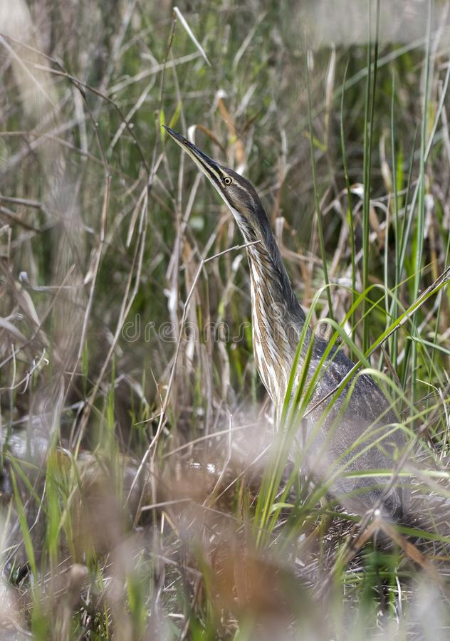 American Bittern hiding in grasses in Okefenokee Swamp Georgia. Vertical composition of an American Bittern camouflage in marsh grasses in the Okefenokee Swamp stock photos