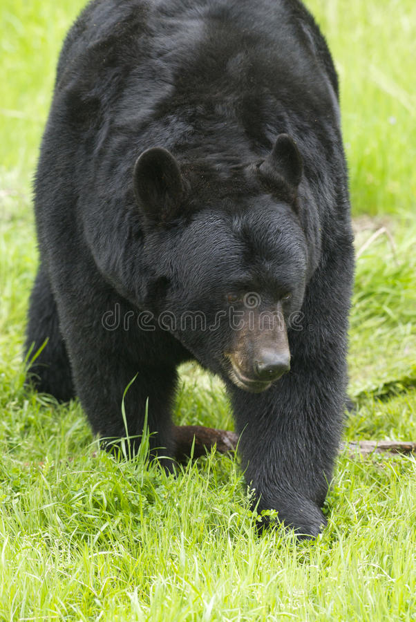 Free American Black Bear Royalty Free Stock Photography - 18148407