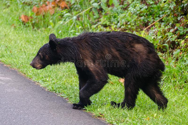 American Black Bear crossing the road in Cades Cove royalty free stock image