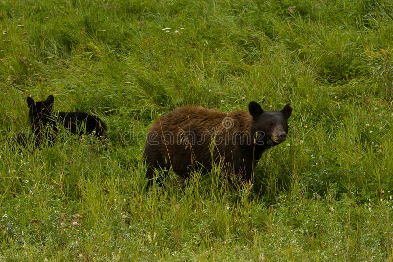 American Black Bear with cub looks up. Northern British Columbia, Canada royalty free stock images